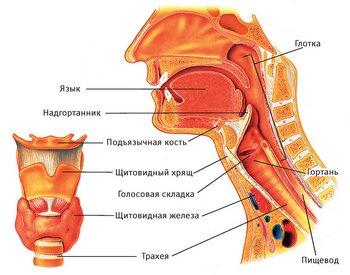 Особенности строения гортани и горла у детей