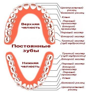 Схема и последовательность прорезывания постоянных зубов
